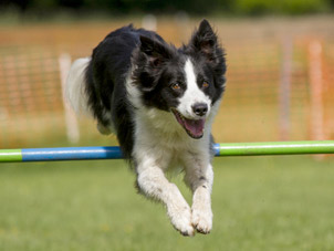 dog-agility-training